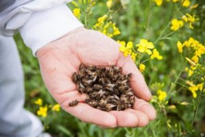 Пчелиный подмор в руке