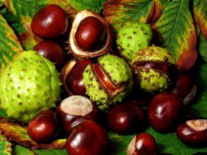 Плоды конского каштана