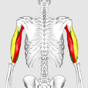 Скелет и мышцы плеч