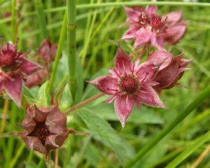 Цветки Сабельника болотного
