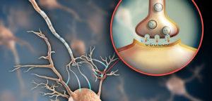 Нервно-мышечный синапс