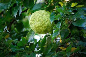 Маклюра висит на дереве